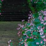岩湧寺の秋海棠と石楠花(5月・9月)