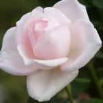 綺麗なバラがたくさん。
