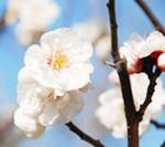河内長野梅の名所ガイド(2月・3月)