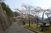 滝畑ダムの桜