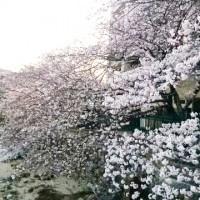 河内長野公園周辺の桜