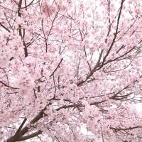 大阪狭山市桜まつり春