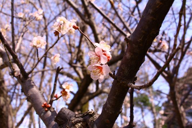 長野公園の梅