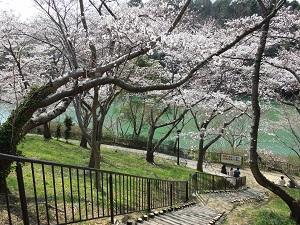 寺ヶ池公園の桜