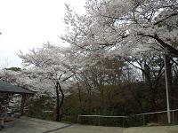 長野公園(奥河内さくら公園)の桜