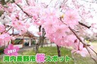 2017河内長野市桜スポット