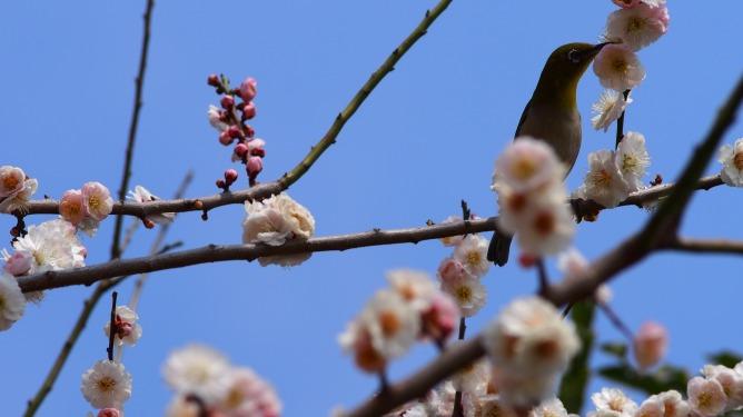 見頃を迎えている寺ヶ池公園の白梅にメジロ