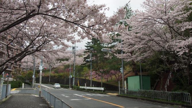 あっちもこっちも!河内長野の桜は満開です!!