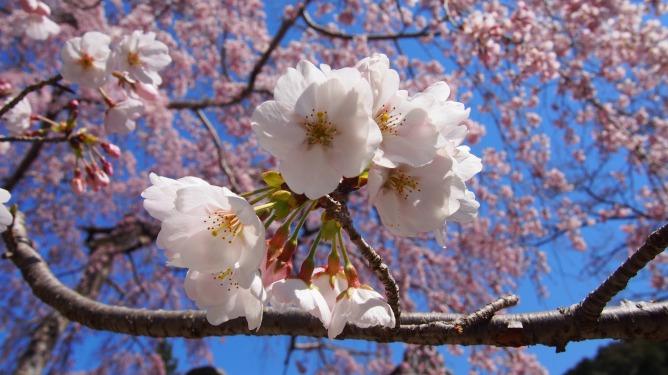 4月4日。金剛寺と長野公園(奥河内さくら公園)の桜です。
