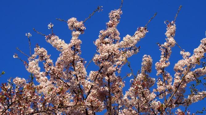 青空をバックにまだ綺麗に咲いている桜を撮って来ました。
