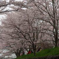 4月9日。悪天候にも負けず咲き誇っている桜を撮影しました。