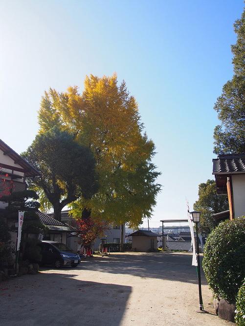 長野神社の大イチョウが神々しく紅葉しています!