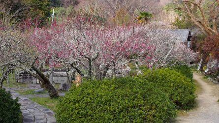 3月10日、観心寺の梅が見頃になっています!
