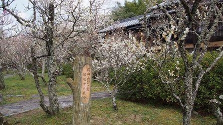 P3月10日、観心寺の梅が見頃になっています!