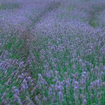 広がるラベンダー畑。