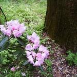 石楠花の群生。