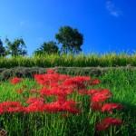 土手に咲く彼岸花。