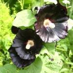 黒い花ブラックマロウ。