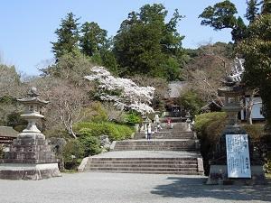観心寺の桜